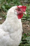 Closeup of hen in farmyard (Gallus gallus. Closeup of a hen in a farmyard (Gallus gallus domesticus Stock Image