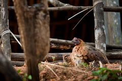 Closeup of a hen in a farmyard. (Gallus gallus domesticus Stock Images