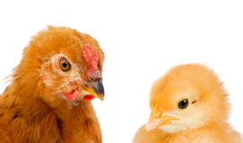 Closeup of a hen with her ��chicks Stock Image