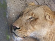 Closeup of her face as a lioness sleeps. A closeup of the peaceful face of a sleeping lioness royalty free stock photos