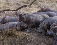 Closeup of herd of Hippos contemplating crashing into the river from land, one with mouth wide open. In the Serengeti National Park, Tanzania Royalty Free Stock Photo