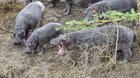 Closeup of herd of Hippos contemplating crashing into the river from land, one with mouth wide open. In the Serengeti National Park, Tanzania Stock Image