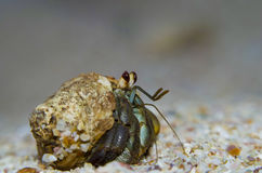 Closeup of hermit crab. Stock Images
