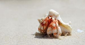 Closeup of a hermit crab with shell Royalty Free Stock Photography