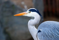 Closeup of a heron Royalty Free Stock Image
