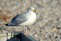 Closeup herring gull Stock Images
