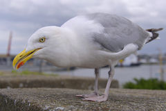 Closeup of Herring gull Royalty Free Stock Photography