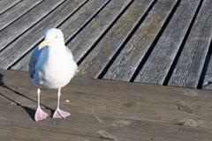 Closeup of herring gull, Larus argentatus walking Stock Image