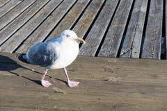 Closeup of herring gull, Larus argentatus walking Stock Photos