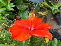 Closeup hibiscus. Pollen red flower Stock Photography