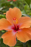 Closeup of a hibiscus rosa sinensis orange flower Royalty Free Stock Photo