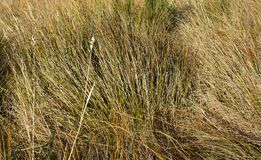 Closeup of High Country Grasses at Castle Hill, New Zealand royalty free stock image