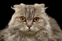 Closeup Highland Scottish Fold Cat on Black Royalty Free Stock Photography