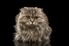 Closeup Highland Scottish Fold Cat on Black Royalty Free Stock Photo