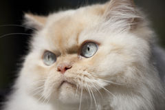 Closeup, himalayan cat Stock Photography