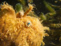 Closeup of hispid frogfish's face Stock Image