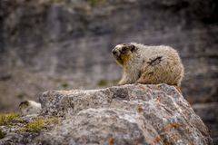Closeup of a Hoary Marmot. In the alpine Royalty Free Stock Photo