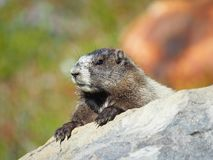 Closeup of a Hoary Marmot on a Rock Stock Image