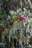 Closeup of holly berries covered with ice on holly shrub. Closeup of holly leaves and berries covered by ice from winter storm stock image