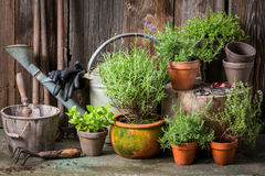 Homegrown and aromatic herbs in old clay pots. Closeup of homegrown and aromatic herbs in old clay pots royalty free stock image