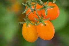 Closeup homegrown ripe orange plum tomato, San Marzano Santoran. Ge on its vine in Europe, blurred green background Stock Image