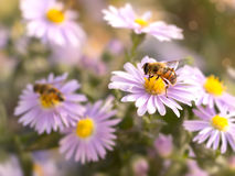 Closeup honey bee on blue New York aster. Selective Focus Stock Photo