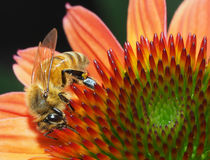 Closeup of Honey Bee on a Corn Flower Stock Images