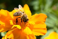 Closeup of a honey bee on a flower. royalty free stock images