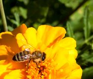 Closeup of a honey bee on a flower. stock photography