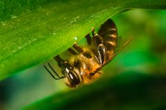 Close-up of honey bee on the green leaf stock photography