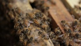Closeup Honey bee macro footage of bee hive and honey production beekeeper stock video footage