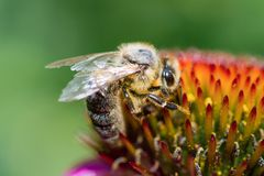 Closeup Honey Bee pollinating on the flower stock image