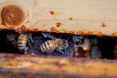 Closeup of a Honey Bee through a Pollinator Pallet in an Apiary Stock Photography