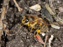 Closeup of a honey bee on the soil Stock Photos