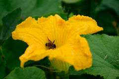 Closeup of Honey Bee in Squash Flower stock photography