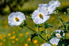 Closeup of a Honey Bee on a White Prickly Poppy Wildflower Bloss Royalty Free Stock Photos