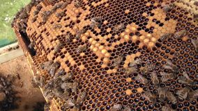 Closeup honey dripping from honeycomb bee clips. stock video footage