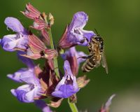 A honeybee feeding on the blossoms of common sage royalty free stock photography