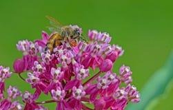 A Honeybee feeding on pink Milkweed Blooms. Closeup HoneyBee feeding on pink Milkweed blooms royalty free stock images