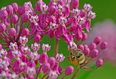 A Honeybee feeding on pink Milkweed Blooms. Closeup HoneyBee feeding on pink Milkweed blooms royalty free stock photography