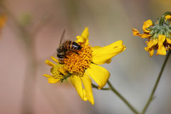 Closeup of Honeybee. Honeybee pollinating wildflower in Mesa, Arizona Stock Photos
