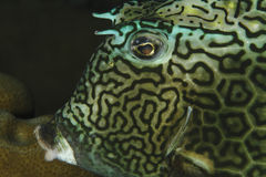Closeup of Honeycomb Cowfish - Bonaire Royalty Free Stock Image
