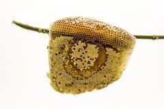 Closeup honeycomb. Stock Photography