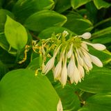 Closeup of Honeysuckle Flower. And leaves from a garden in a park stock photos