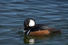 Hooded merganser in nature royalty free stock photography