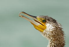 Closeup of hooked beak of Great Cormorant Stock Photo