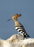Closeup of Hoopoe Royalty Free Stock Images
