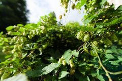 Closeup of hop branch in vegetation Royalty Free Stock Photos
