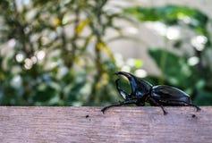Closeup of Horn beetle Stock Photo