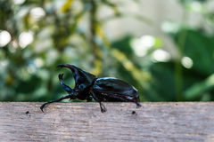 Closeup of Horn beetle Royalty Free Stock Images